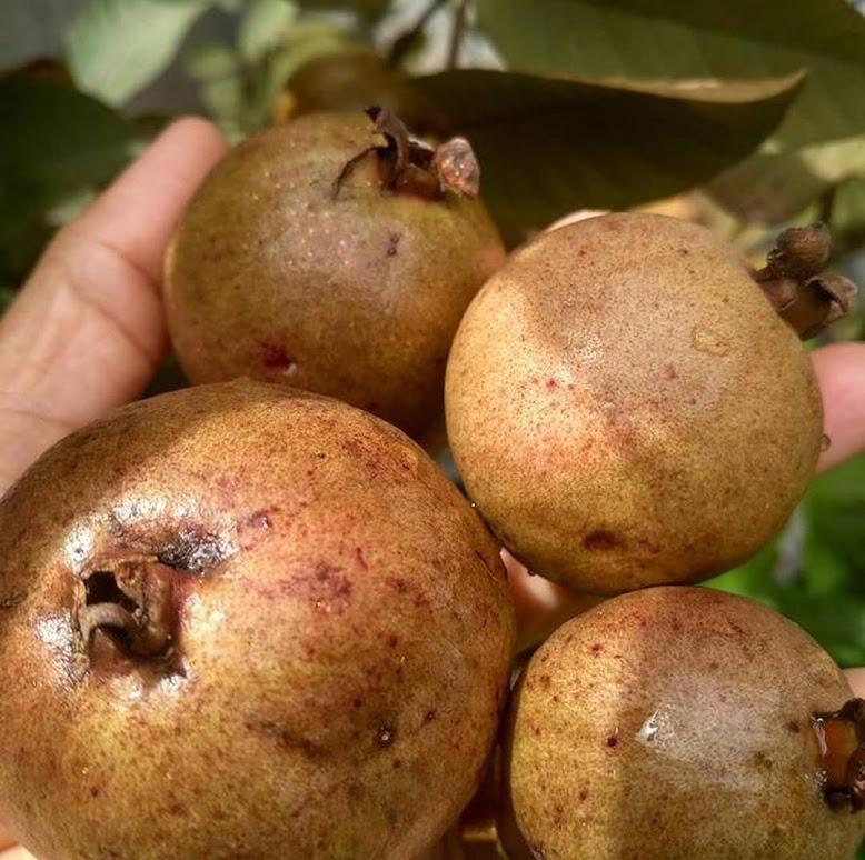 Bibit tanaman buah jambu biji merah australia BISA COD BISA COD Tebingtinggi