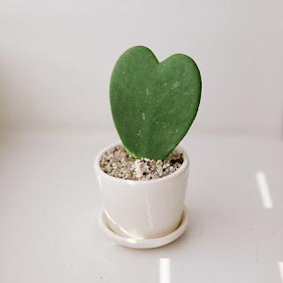Hoya Kerrii stek daun