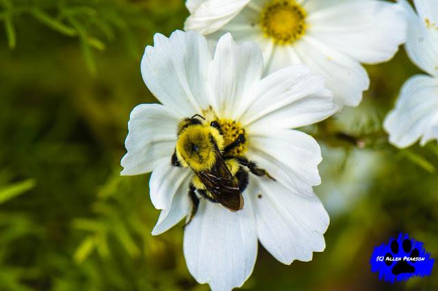A Bumble Bee Enjoys Pollen
