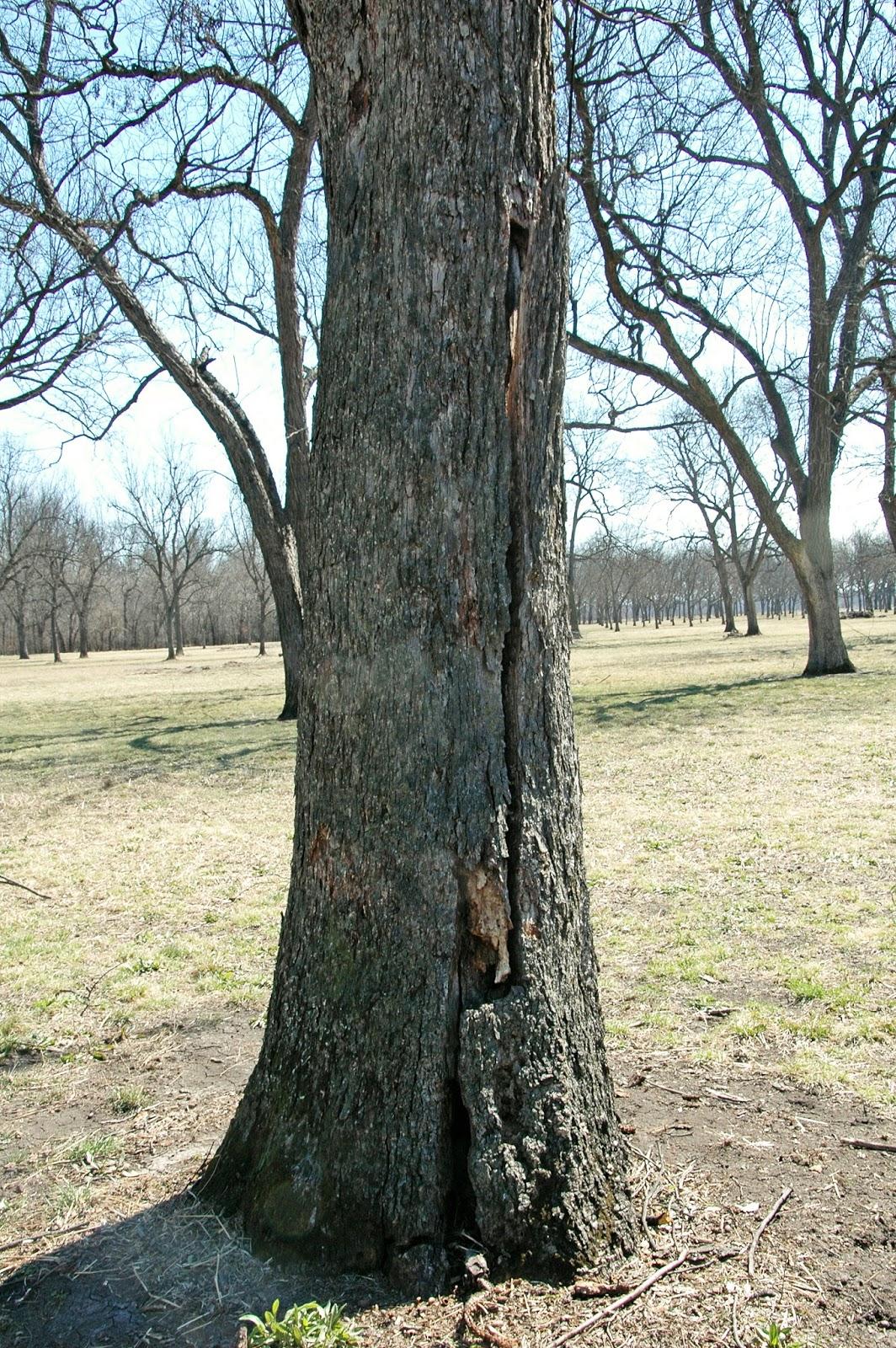 Northern Pecans Big Native Pecan Tree Weakened By Wood Rot