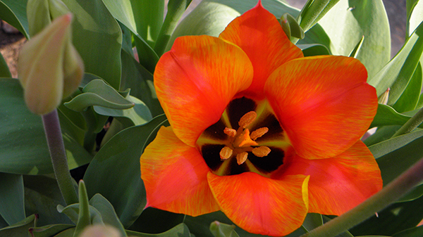Orange Variegated Tulps