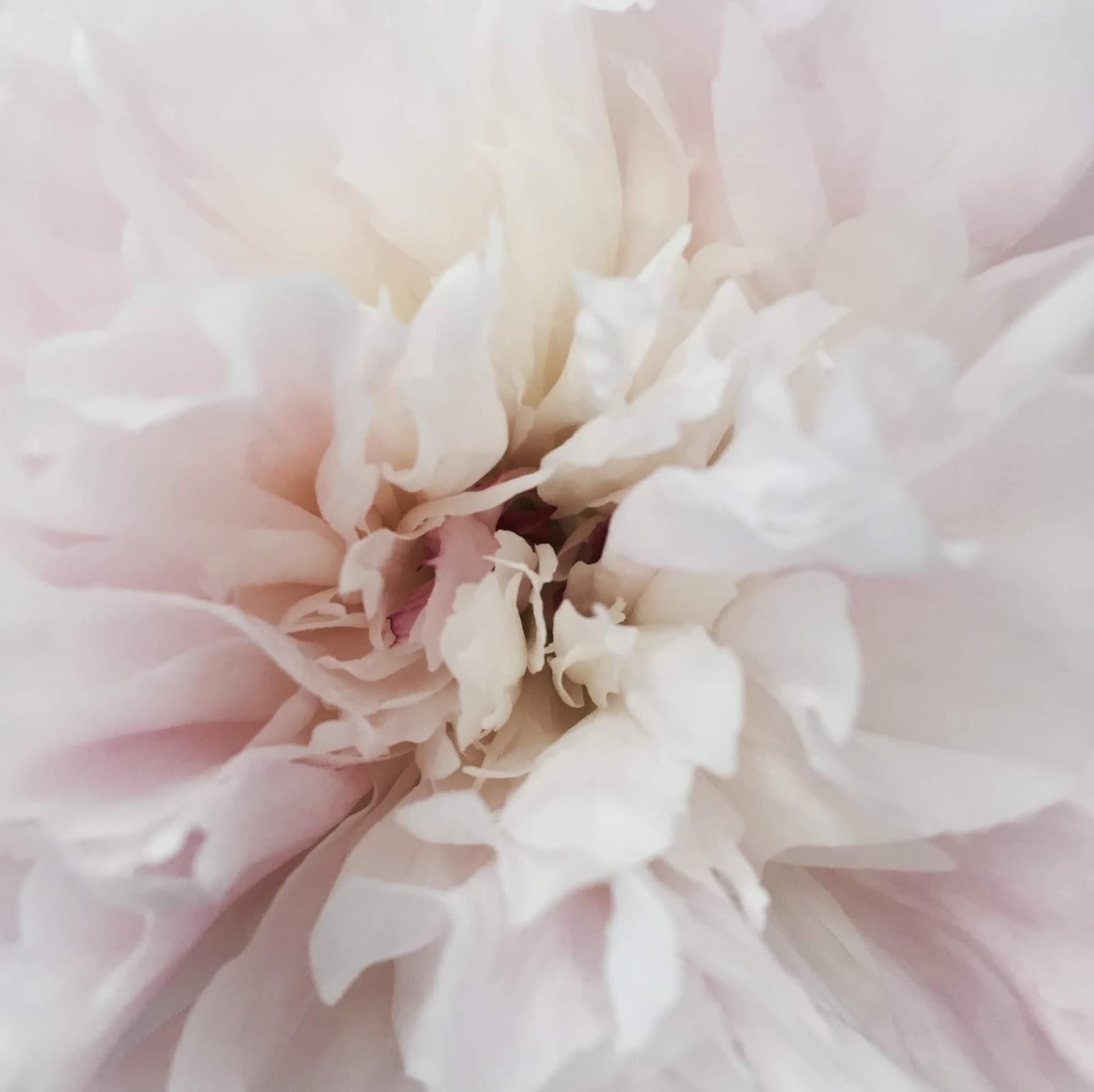 Elegant Blush Pink Peony Floral Photography Closeup Image