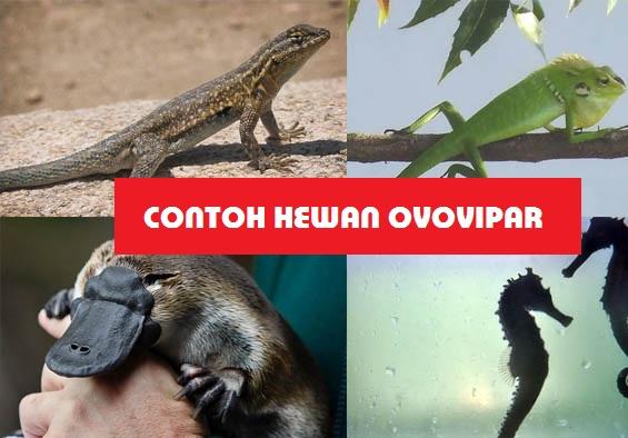 91 Contoh Gambar Hewan Ovipar Vivipar Dan Ovovivipar Gratis Terbaik