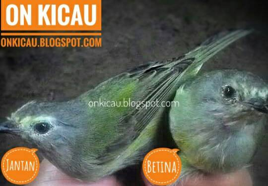 Ciri Ciri Perbedaan Burung Opior Jawa Jantan Dan Betina On Kicau