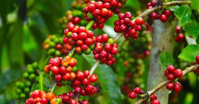 Giá cà phê hôm nay 17/6:  Mức thu mua được điều chỉnh tăng 400 - 600 đồng/kg