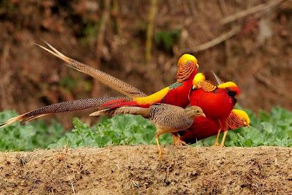 Jual Golden Pheasant Induk