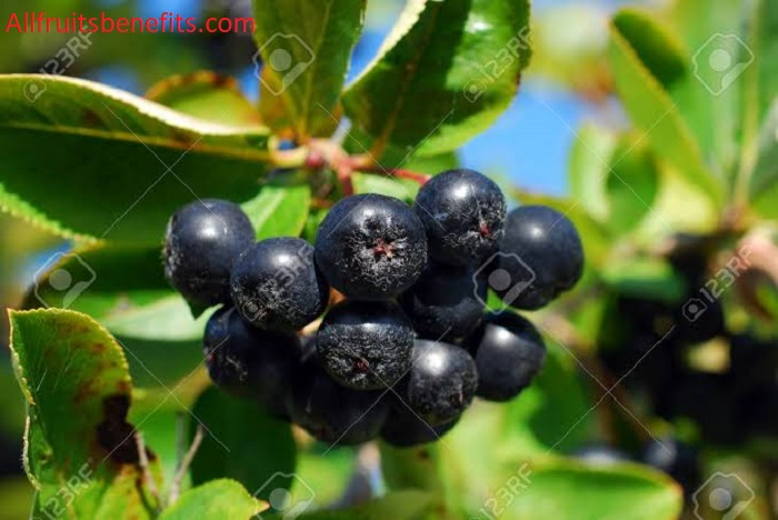 black chokeberries fruits,black chokeberry,aronia chokeberry,black aronia,viking black chokeberry,viking chokeberry,aronia melanocarpa edible,autumn magic aronia berry,black aronia berry,glossy black chokecherry,dwarf black chokeberry