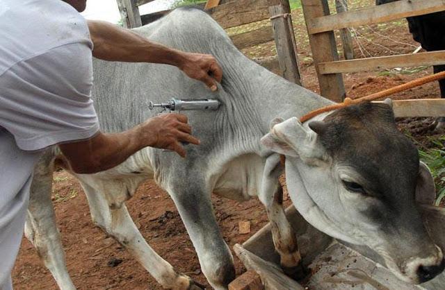 PE prorroga vacinação contra febre aftosa