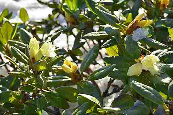 (2) Rhododendron Blooming in Snow