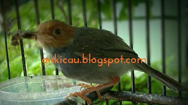 Cara Cepat Menggacorkan Burung Prenjak Bahan Bakalan On Kicau
