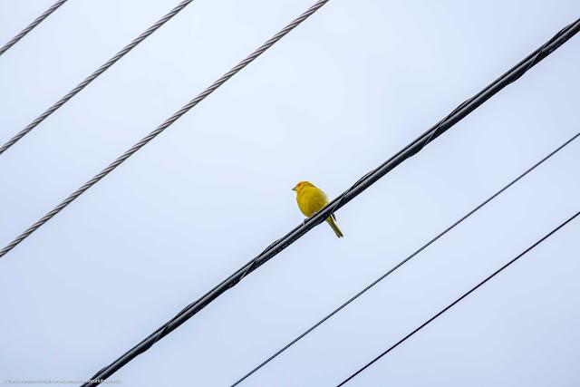 Um canário-da-terra pousado em um fio de eletricidade