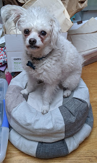 Little white dog, Lacey, sitting on top of two cushions
