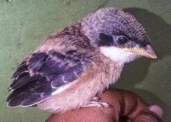 burung yang mempunyai ukuran badan yang mini ini memang sering dijadikan gacoan dalam berb 3 Pola Penting dalam Perawatan Cendet Trotol