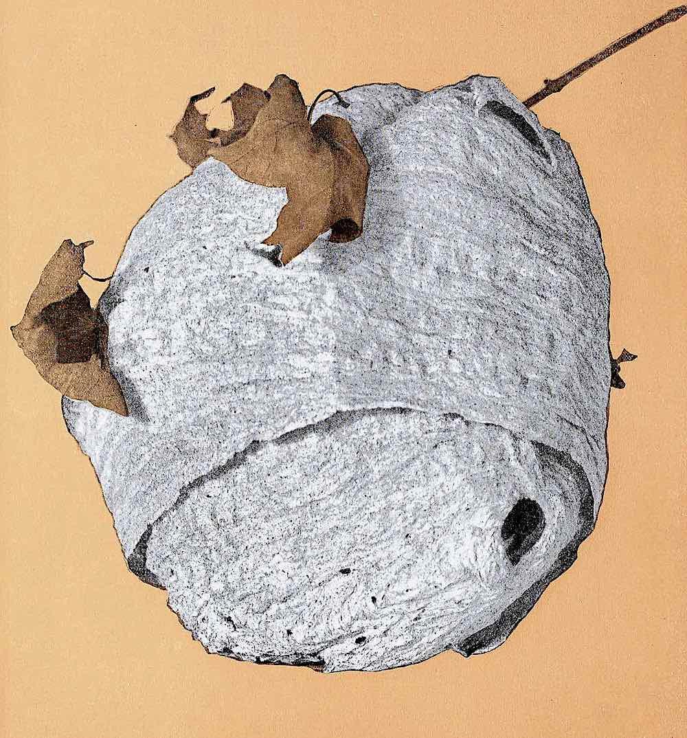 a 1923 hornet nest