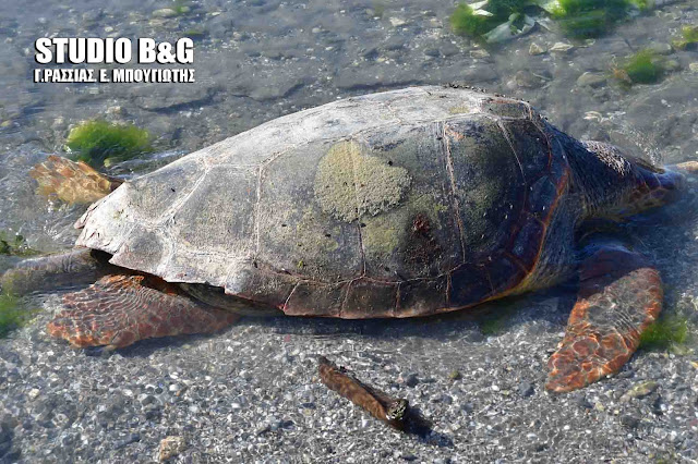 Νεκρές θαλάσσιες χελώνες σε παραλίες της Πελοποννήσου