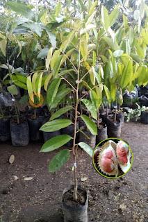 bibit-durian-merah-okulasi.jpg