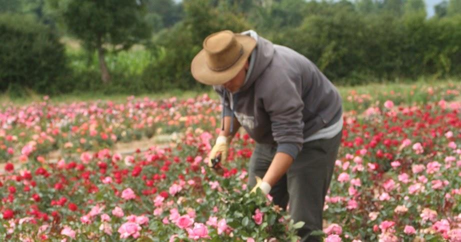 Les carnets de georges delbard faut il tailler les - Quand faut il tailler les rosiers ...