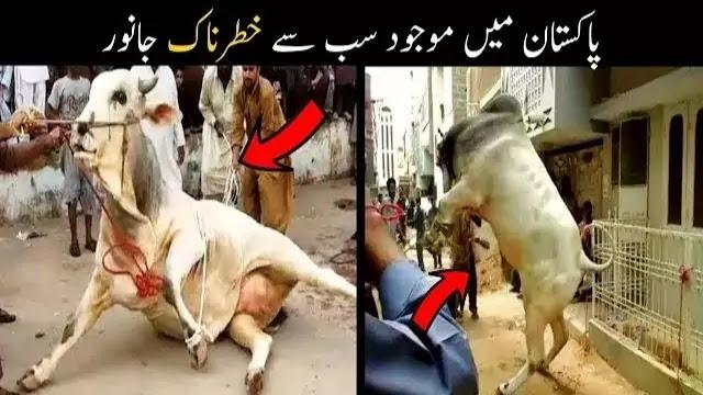 Angry-Cow-Qurbani