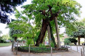 Paris : Le plus vieil arbre de Paris, le robinier du square René-Viviani, sentinelle insolite, témoin du temps qui passe - Vème