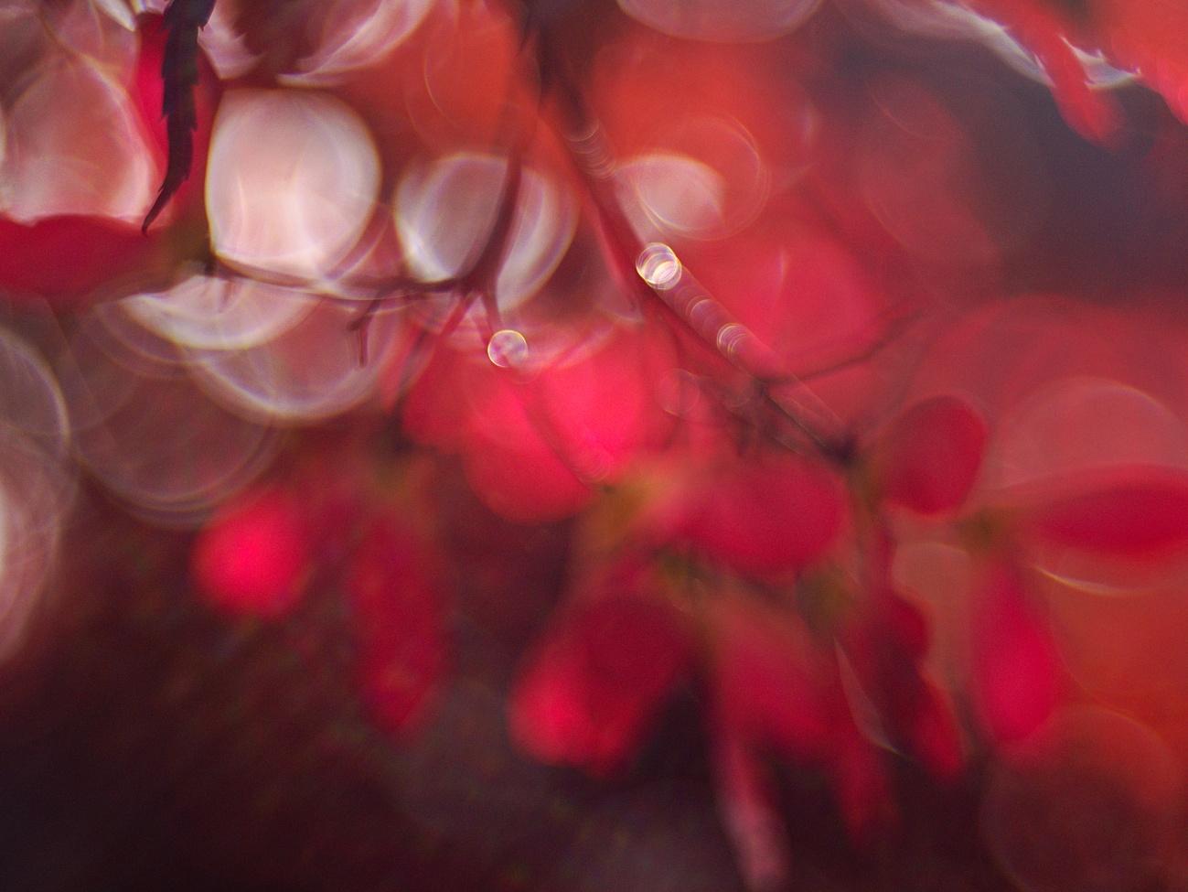 Bilder des Tages #85 — Roter Zierahorn