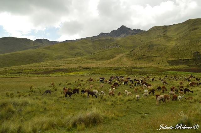 Elevage d'alpagas au Pérou