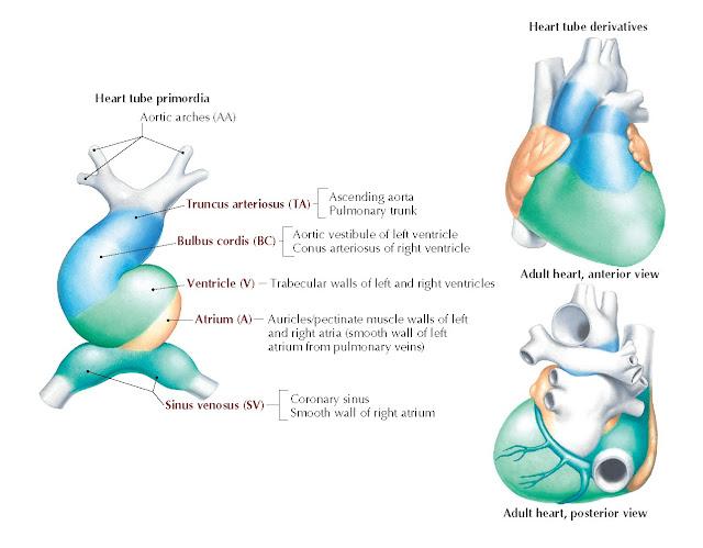 FIG 1.4 Summary of heart tube derivatives.