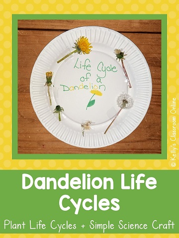 Learn about plant life cycles, make a  dandelion life cycle craft, and read The Dandelion Seed by Joseph Anthony.  Perfect from spring!  Preschool to first grade.  Science, ELA, STEM/STEAM. #kellysclassroomonline