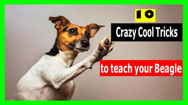 10 Crazy Cool Tricks to teach your Beagle