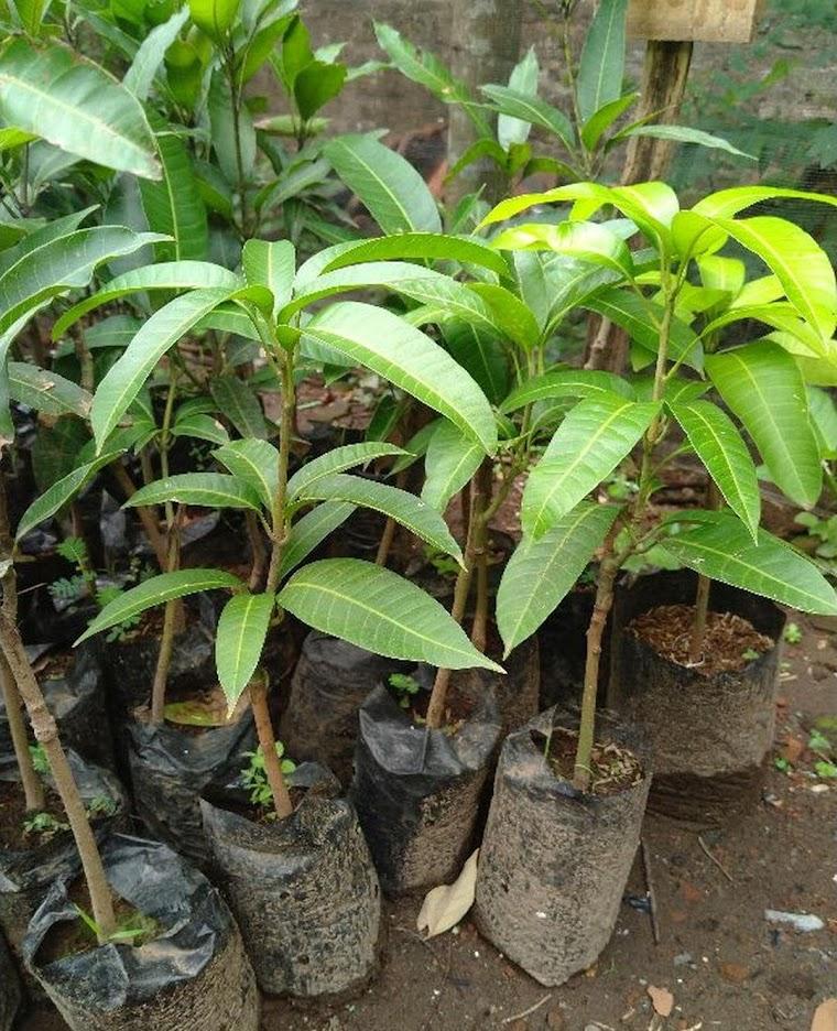 bibit mangga Alpukat okulasiunggul Ternate