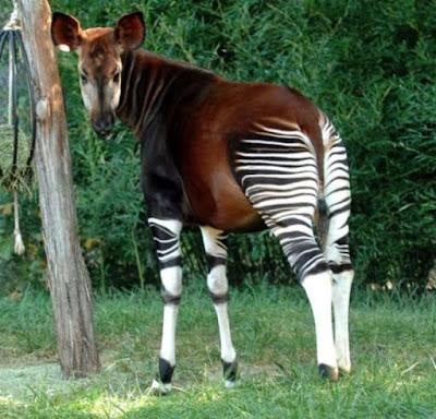 Hewan Okapi - Sekitar Dunia Unik