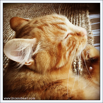 50 Shades of Ginger on The Sunday Selfies @BionicBasil® Ginger Cat Appreciation Day - Fudge
