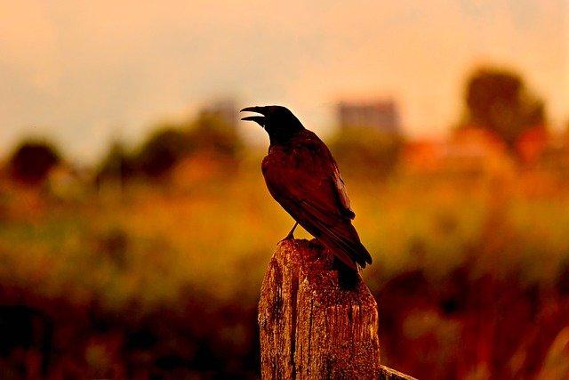 Crow Information in Marathi