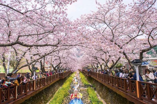 Chùm ảnh đẹp Hoa Anh Đào Nhật Bản vào tháng 02/2020