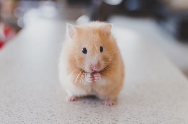 "Alt =""Hamster pet"""