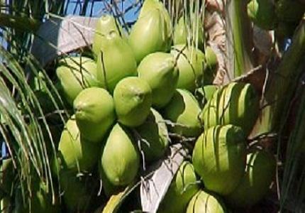 Kelapa Kaya Manfaat Baik Untuk kesehatan