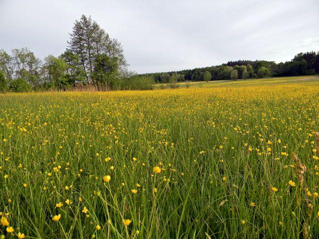 Jaskier (Ranunculus L.) to znana roślina łąkowa. Tworzy żółte dywany kwiatów