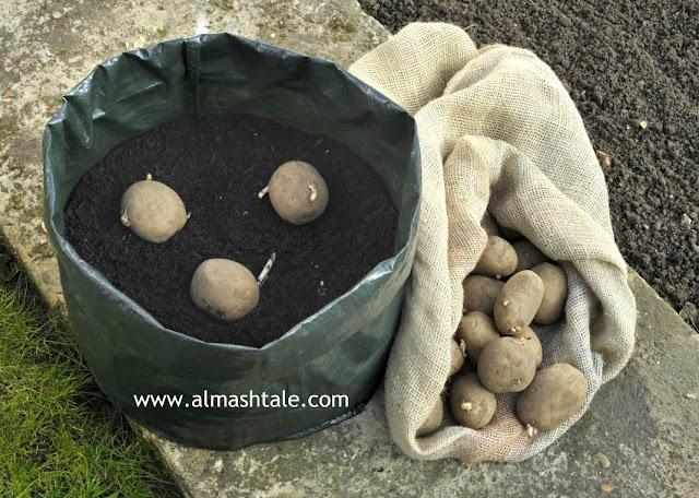 زراعة البطاطس potatoes في المنزل