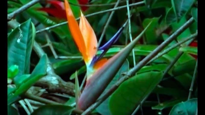 Modelo de comercialización de Heliconia - Jardinería