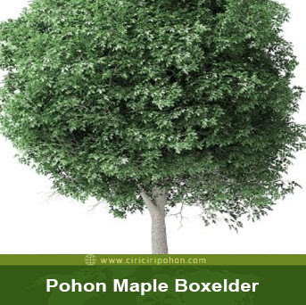 ciri ciri pohon maple boxelder