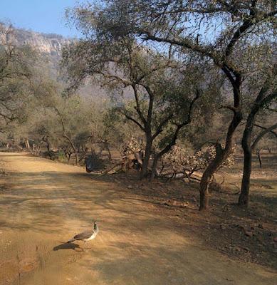 peacock-pics-at-rajsthan-bhagalpur-gujarat