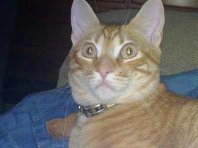 gato-comun-europeo-caracteristicas-personalidad