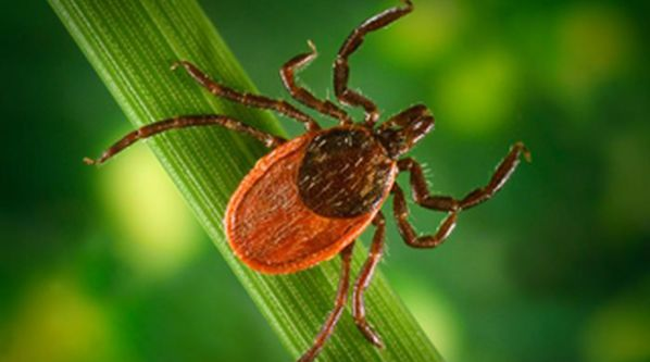 Tickborne Diseases Are Likely to Increase, Say NIAID Officials