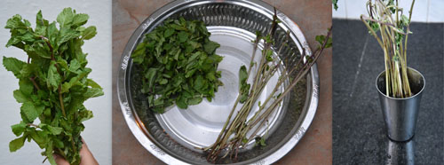 how to grow mint/pudina at home