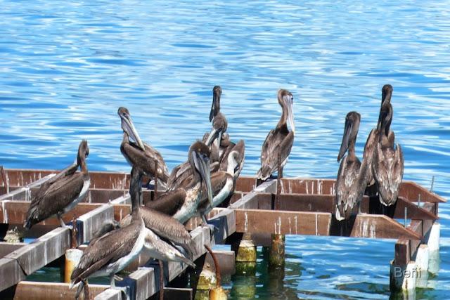 pelicanos en el golgo de cariaco en venezuelas