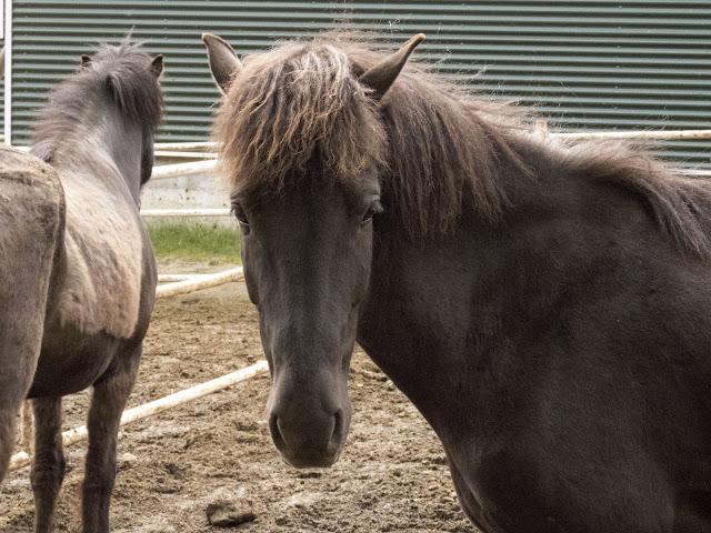 Self-drive around Iceland's Golden Circle: Icelandic Horses at Friðheimar