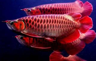 Penyebab dan cara mengatasi Ikan Arwana menggigit ekor