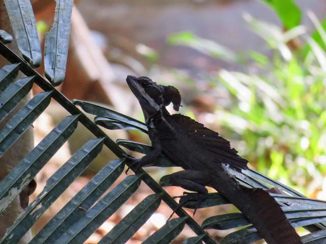 Costa Rica Wildlife: Jesus Christ Lizard in Manuel Antonio National Park