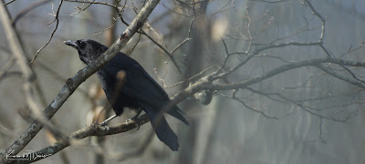 american crow on bare branches