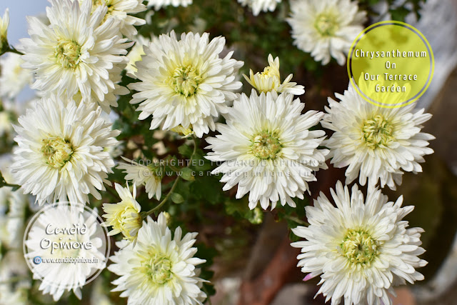 Chrysanthemums On our Terrace Garden