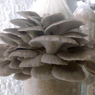 Oyster mushroom cultivation in United Arab Emirates